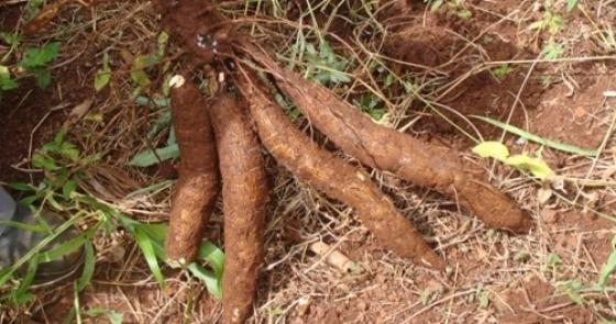 Curso de beneficiamento e transformação caseira da mandioca